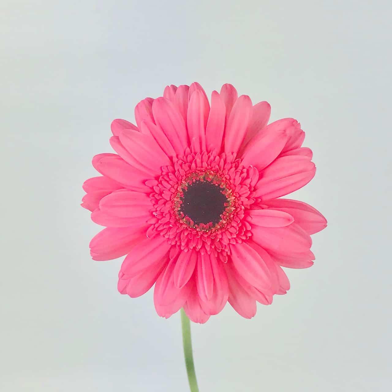 Gerbera Daisy Pink Cascade Floral Wholesale