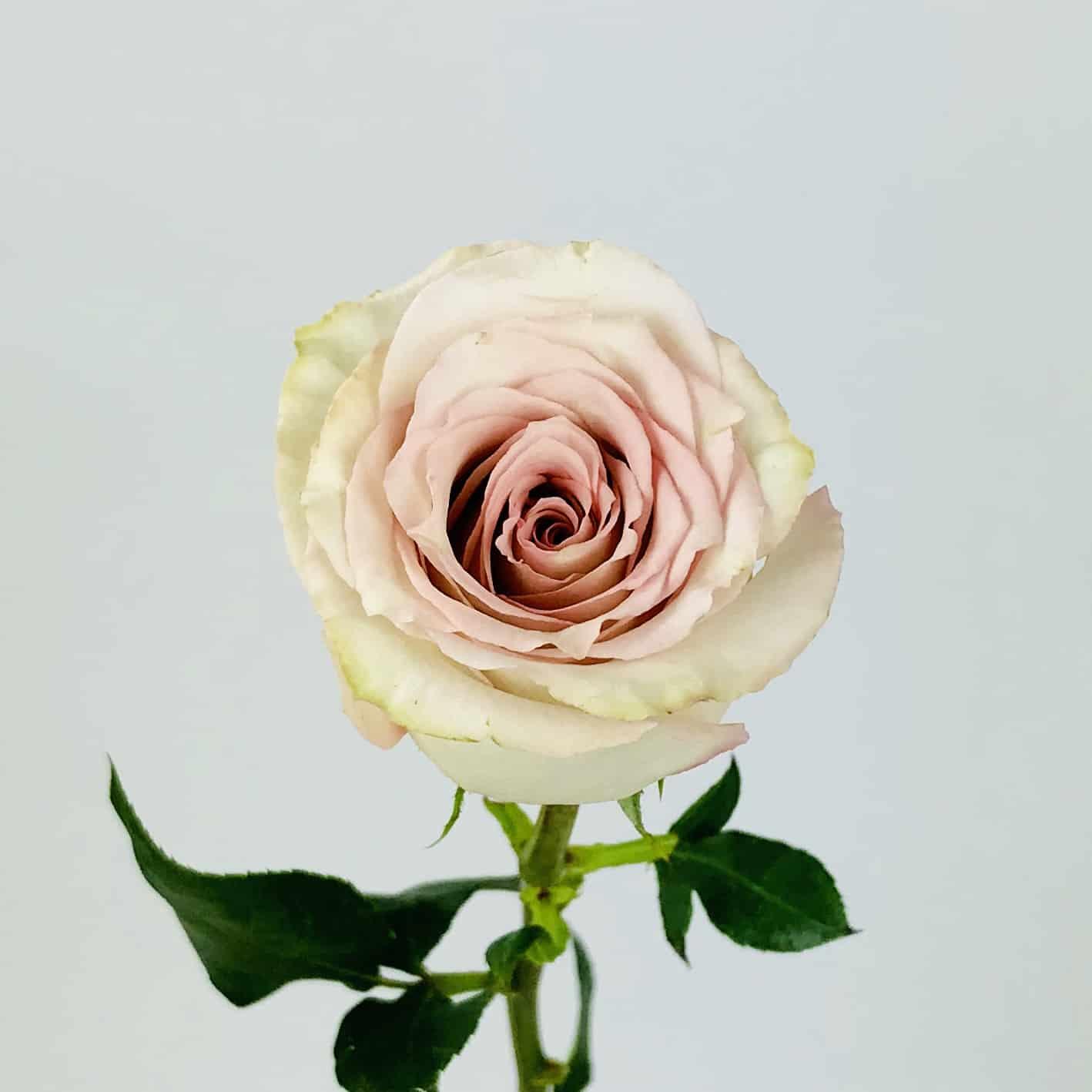 791c65048295 QUICKSAND ROSE - 50CM - Wholesale Bulk Flower Delivery